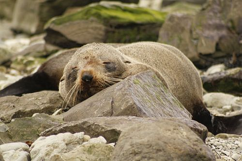 Slapende zeehond van Inge Teunissen