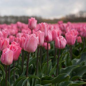 Roze tulpenpracht