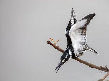 Et.... Action ! - Martin-pêcheur sur Sharing Wildlife