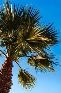 Palmboom tegen strakblauwe lucht van