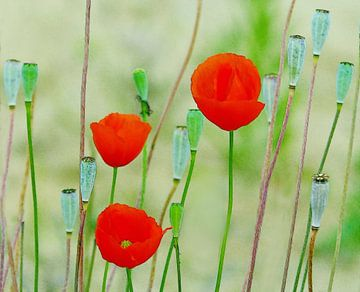 Poppies van Caroline Lichthart