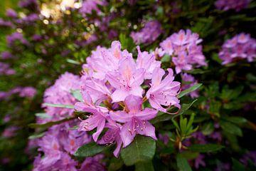 Bloem van een Rododendron van Jenco van Zalk