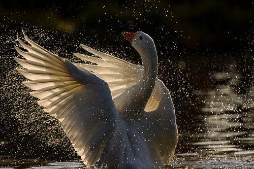 Gans spreidt zijn/haar vleugels in vol tegenlicht