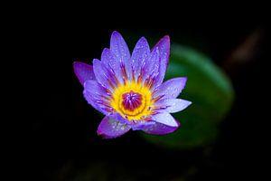 Blauwe Lotus II van