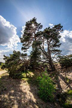 Een boom hangend op de Veluwe met zon erachter