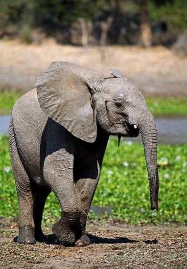 Young elephant, wildlife in Africa van W. Woyke
