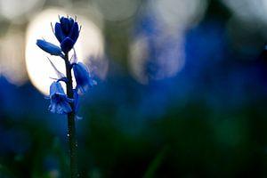 Wilde hyacint bij zonsondergang van