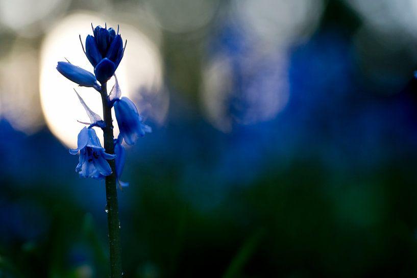 Wilde hyacint bij zonsondergang van Gonnie van de Schans