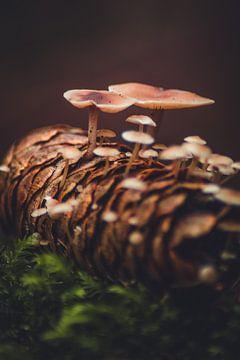 Les champignons poussent dans les pommes de pin sur lichtfuchs.fotografie