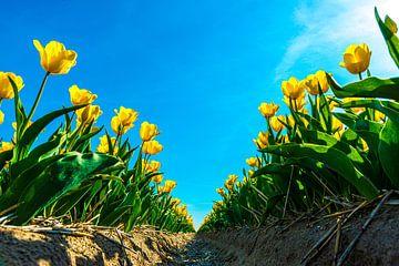 Gele tulpen met sunflare van Ruurd Dankloff