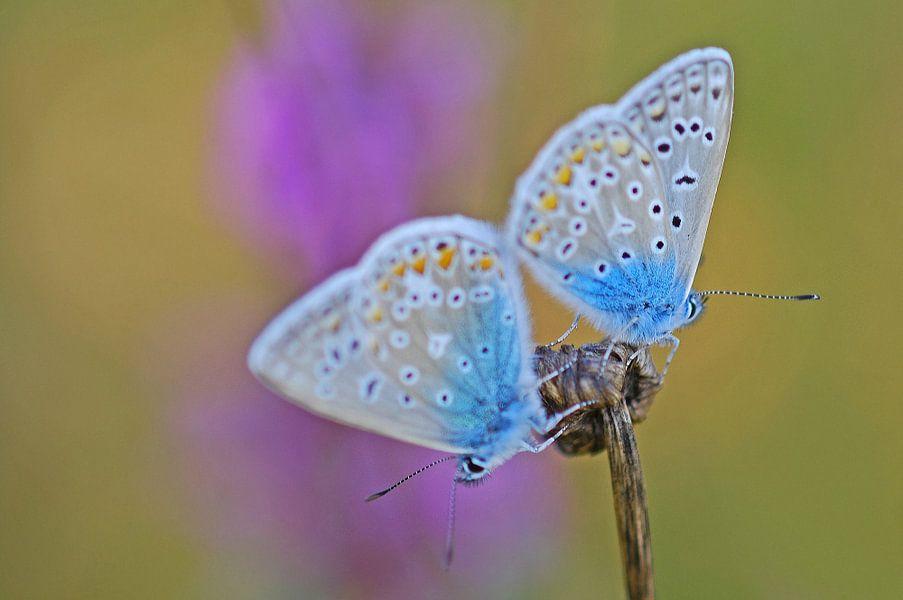 Adonis witje vlinder van Gabsor Fotografie