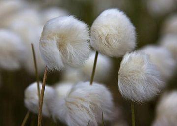 herbe à coton sur Anja B. Schäfer