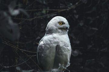 Hibou des neiges sur Lars Hoppe