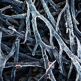 Algues congelées sur Edwin Mooijaart