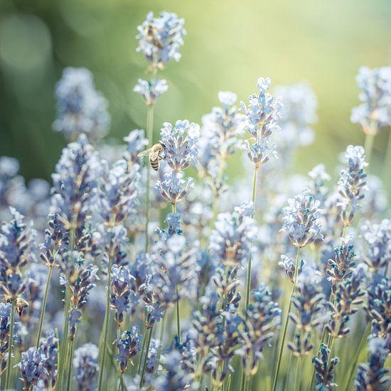 summer lavender van Hannes Cmarits