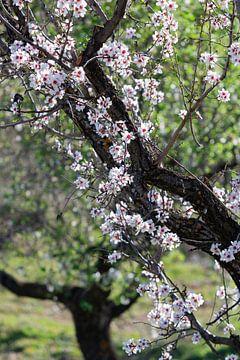 Mandelblüte im Lecrin-Tal, Spanien von Clazien Boot