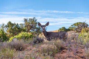 Muildierhert dat opkijkt in Arches National Park, Verenigde Staten van Maarten Oerlemans