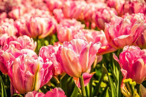Een veld vol roze tulpen