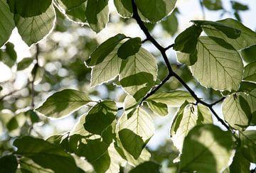 Blätter mit Sonnenscheindurchlässigkeit von Bianca ter Riet