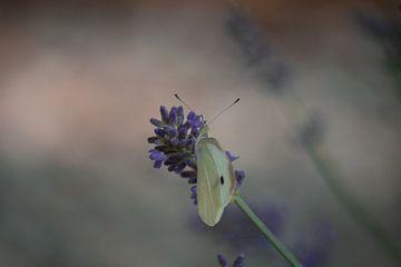 Schmetterling in Lavendel von Margreet Boersma