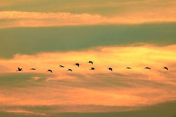 Kranichvögel fliegen bei Sonnenuntergang in der Luft von Sjoerd van der Wal