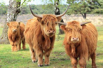 Schotse hooglander trio van Bobsphotography
