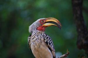 Hoornvogel Afrika