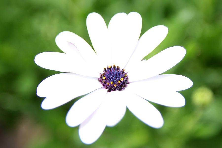 The White Daisy van Cornelis (Cees) Cornelissen