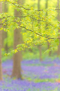 Beuk met vers groen blad in een wilde hyacinten bos in het voorjaar van Sjoerd van der Wal