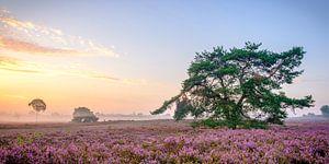 Zonsopkomst boven de bloeiende heide op de Veluwe