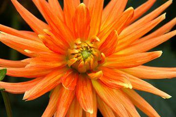 Oranje sur Pamela TTW