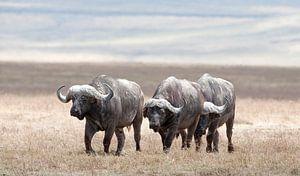 Buffels bedekt met modder op de vlakte van de Ngorongorokrater, Tanzania.