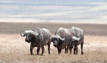 Buffels bedekt met modder op de vlakte van de Ngorongorokrater, Tanzania. van Louis en Astrid Drent Fotografie