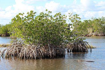 Krokodil in Everglades - Florida van Martin van den Berg Mandy Steehouwer
