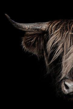 Portret schotse hooglander met donkere achtergrond