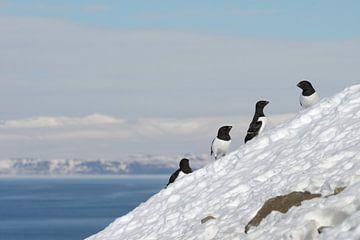 Kleine Alken in de sneeuw von LTD photo