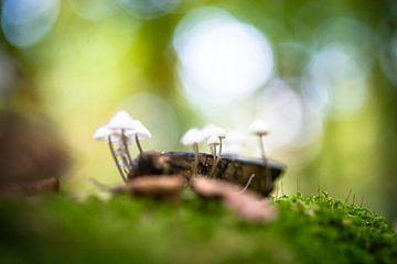 Der Pilz Mycena polygramma im Herbst von Fotografiecor .nl