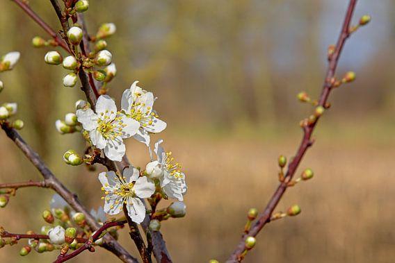 witte lente bloesem van Kristof Lauwers