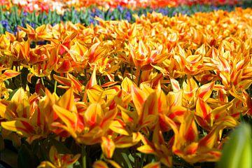 Tulp geel en rood. van Fleksheks Fotografie