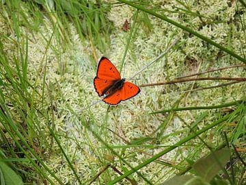De Grote Vuurvlinder. von Wieja van der Kamp