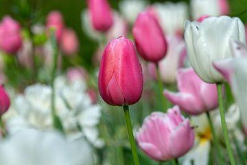 Tulipe avec goutte de rosée sur René Roelofsen