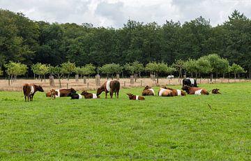 een kudde met lakenvelder koeien met bos op de achtergrond van Compuinfoto .