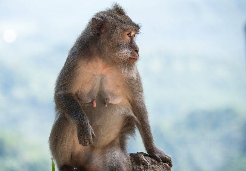Macaque aapje van Marcel van Balken