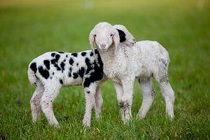 Schafe van