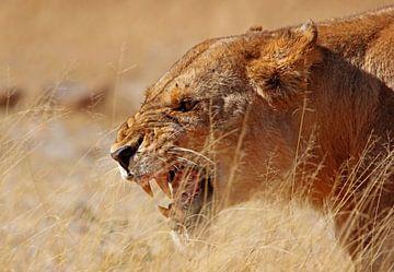 Ärgerliche Löwin - Afrika wildlife von W. Woyke