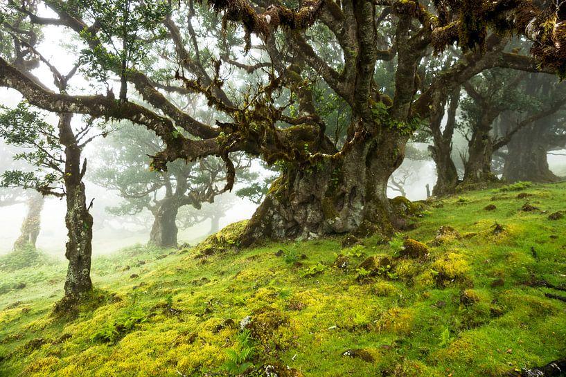 Oude boom in Fanal, Madeira van Michel van Kooten