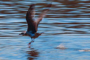 Opstijgende meeuw. Rising seagull. van Cor Pot