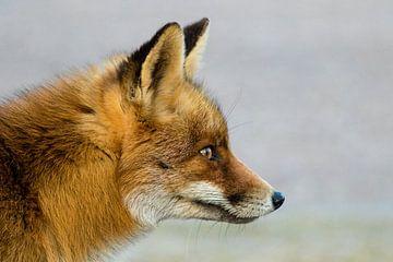 Rode vos zijaanzicht van