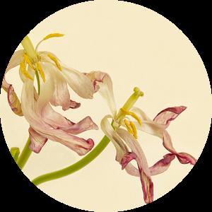 Tulpen van Monique van Velzen