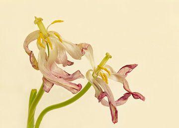 Tulpen sur Monique van Velzen